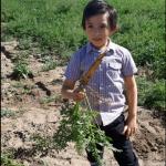 Zanahoria Amarilla