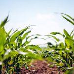 plantío de maíz palomero