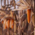maíz palomero maduro a punto de cosechar