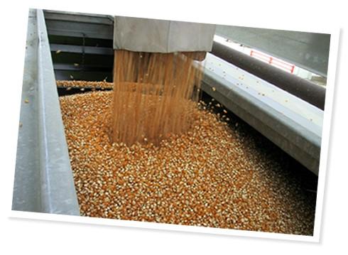 granos de maíz palomero cosechado