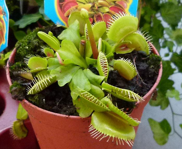 planta dionaea