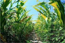 Figura 4. La alimentación de los chapulines consta de hojas y hierbas.